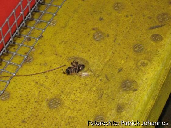 Tote Biene vor Flugloch