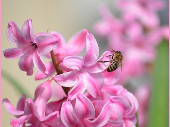 Biene in Hyazinthe