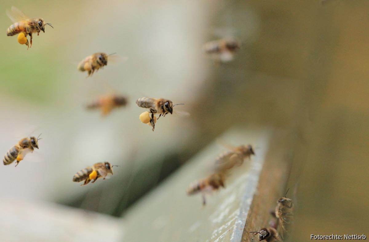 Bienen beim Landeanflug
