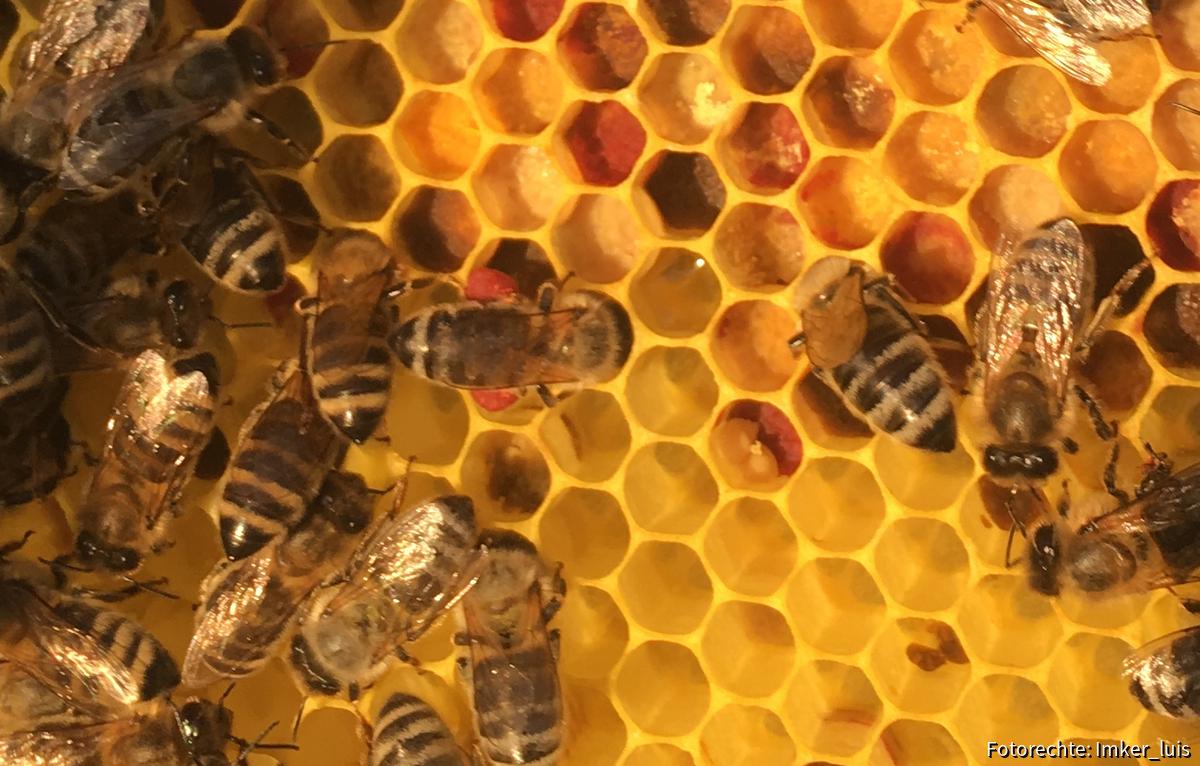 Biene mit Taubnessel Pollen
