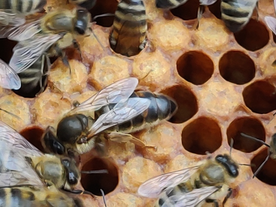 Unsere Bienen/ Apislazuli