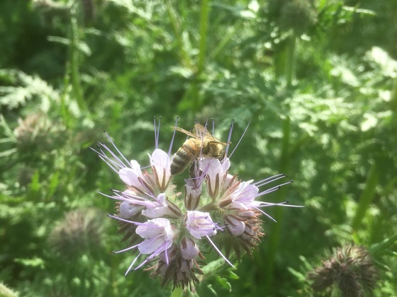Ablegerstand in Phacelia