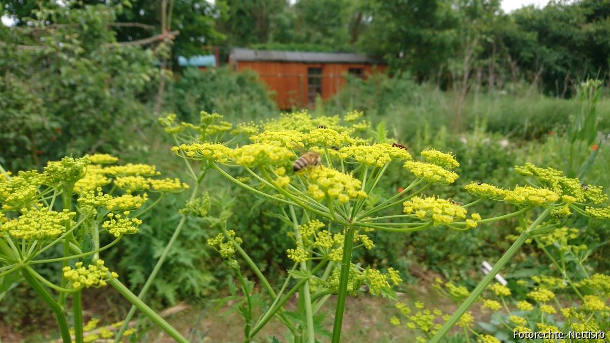 Biene auf Pastinakenbluete