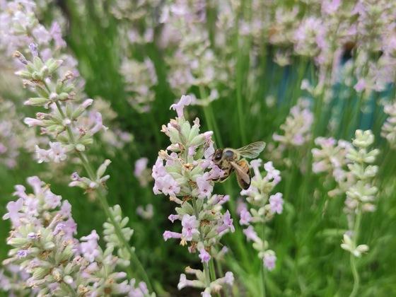 Heute im weißen Lavendel