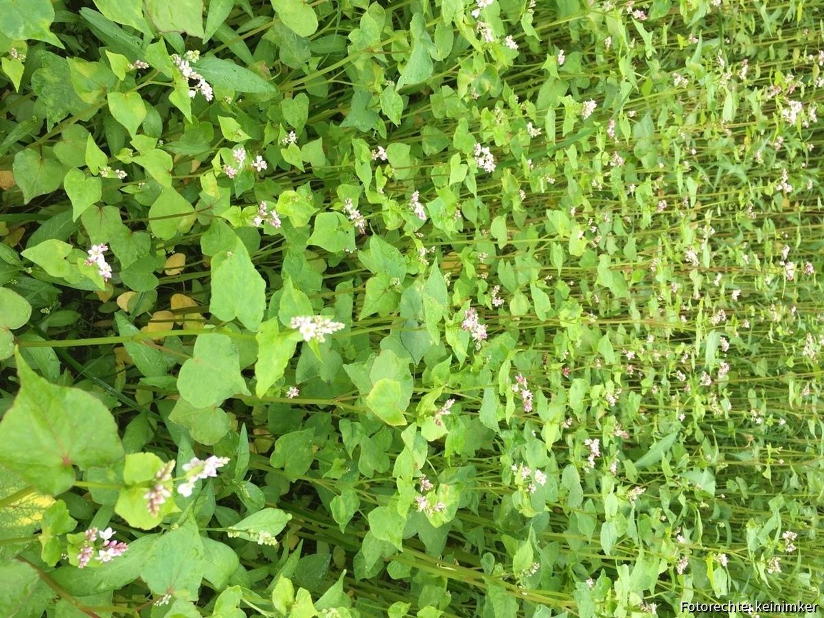 Buchweizen in voller Blüte
