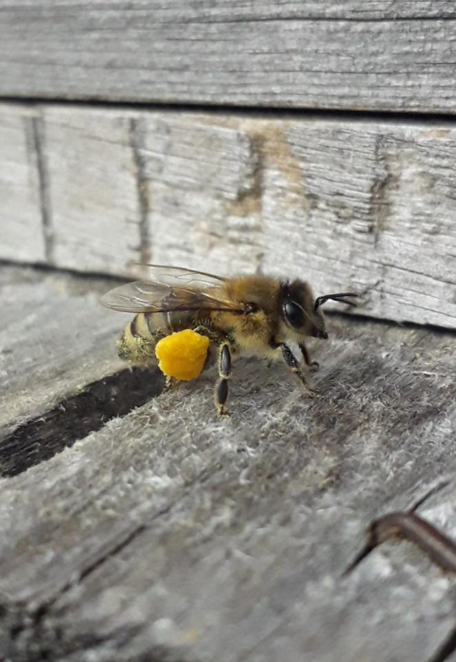 Pollenhosen