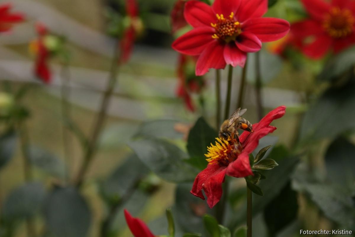Biene an Dahlie