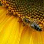 Bepuderte Biene an Sonnenblume