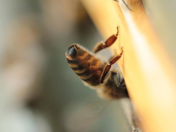 Bienenhintern