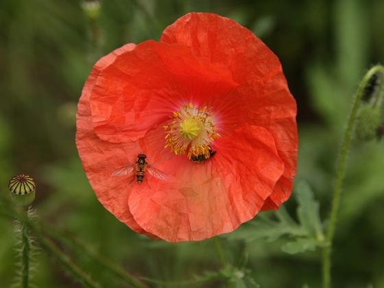 Fliege und Wildbiene an Mohn 4