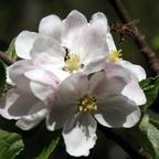 Honigbiene fliegt Apfelblüte an
