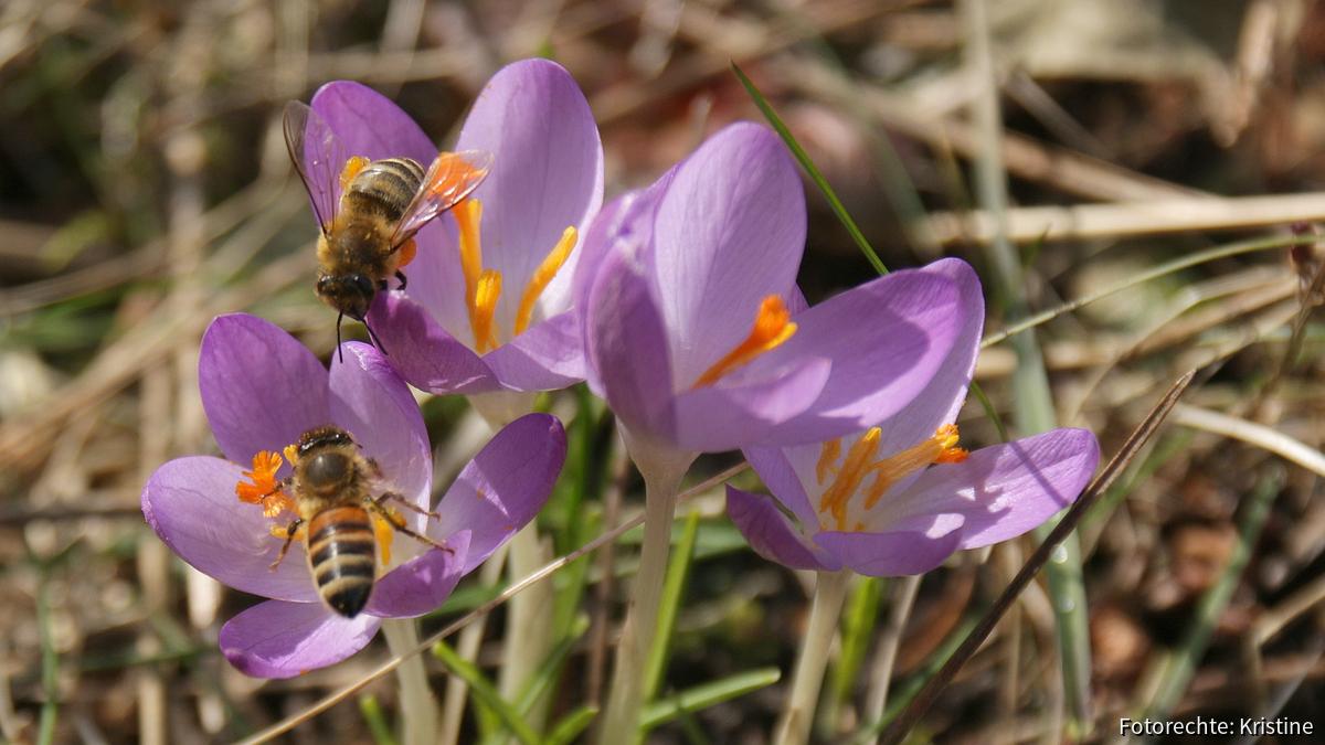 Bienen am Krokus