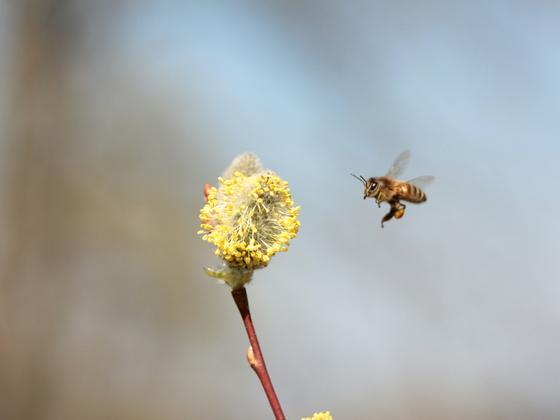 Jippi Pollen