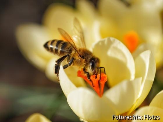 Fleißige Biene am Krokus
