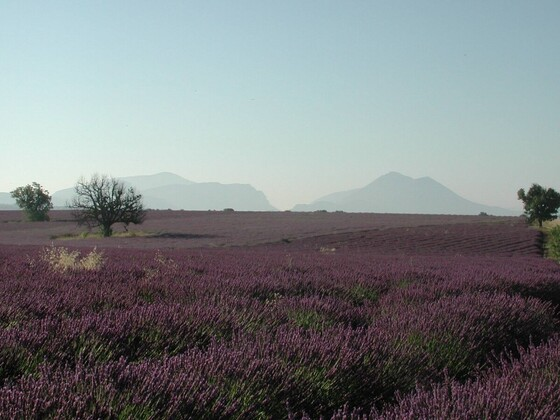 Lavendel in Süd-Frankreich