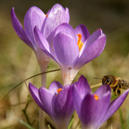 Biene zum Krokus