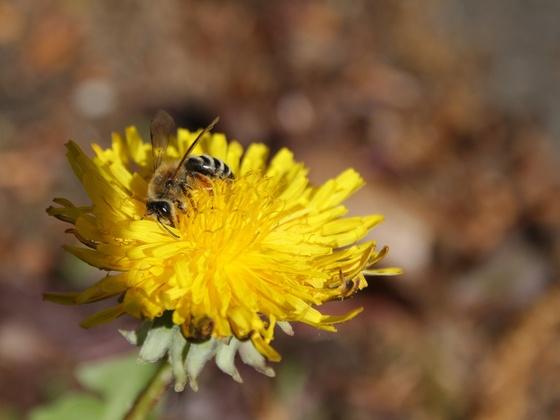 Wildbiene an Löwenzahn