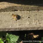 Pollensammlerin macht Verschnaufpause