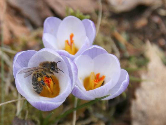 Biene am Krokus