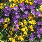 Krokusanpflanzung vom letzten Herbst...es hat sich gelohnt