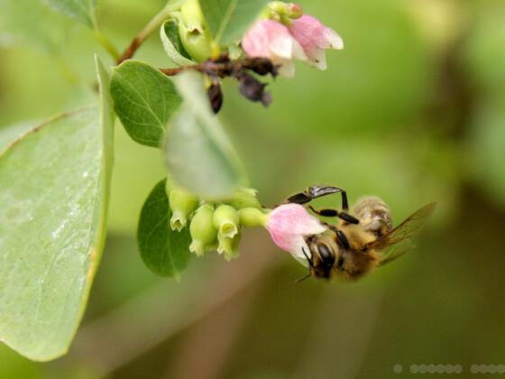 Biene an Schneebeere