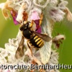 c8 Die große Wollbiene. (Anthidium manicatum) Siehe: http://de.wikipedia.org/wiki/Gro%C3%9Fe_Wollbiene