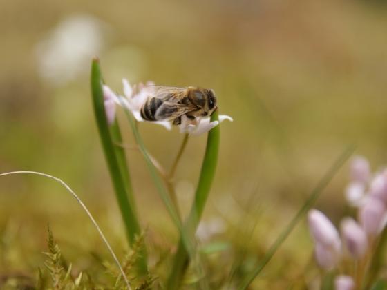 Biene auf Rosasternchen 2