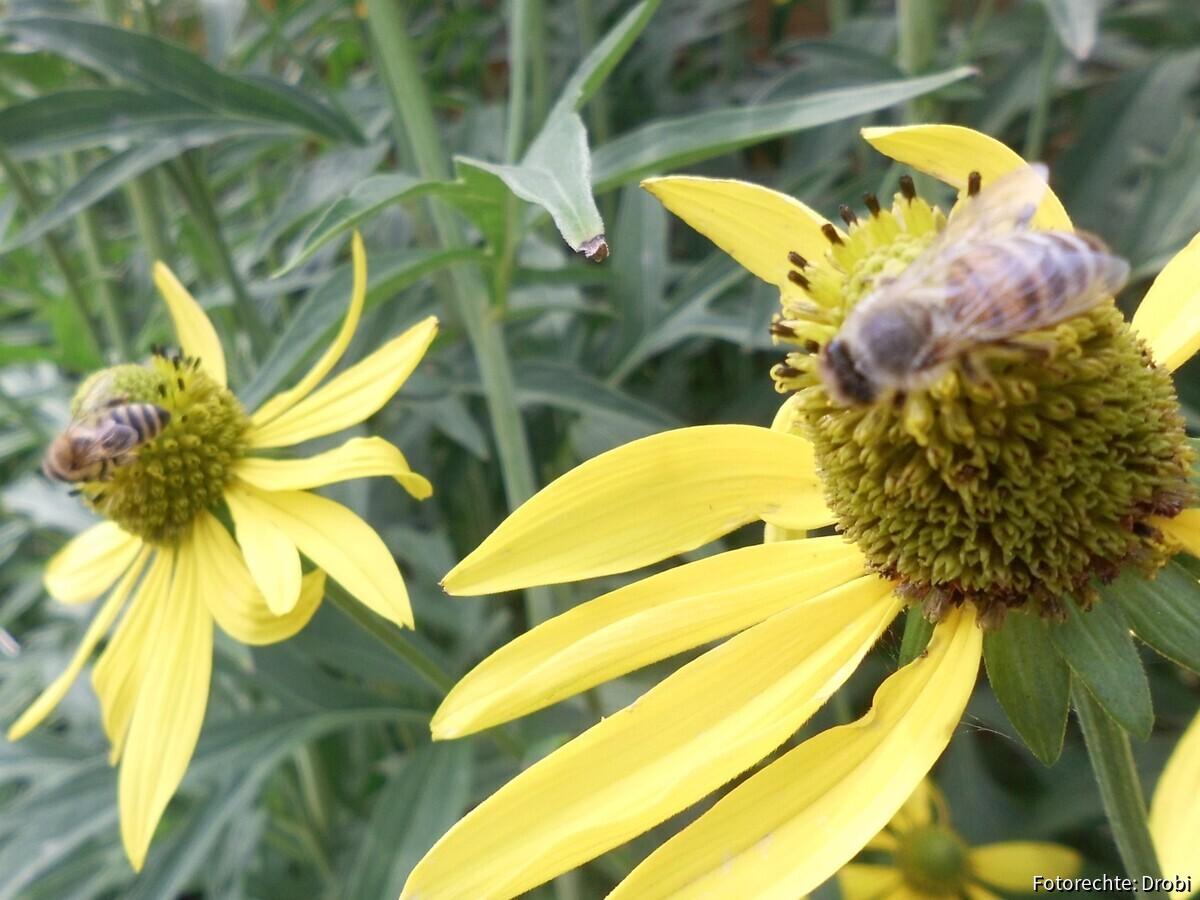 Bienen auf meiner Sonnenbraut