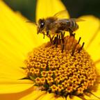 Biene an Sonnenauge 2