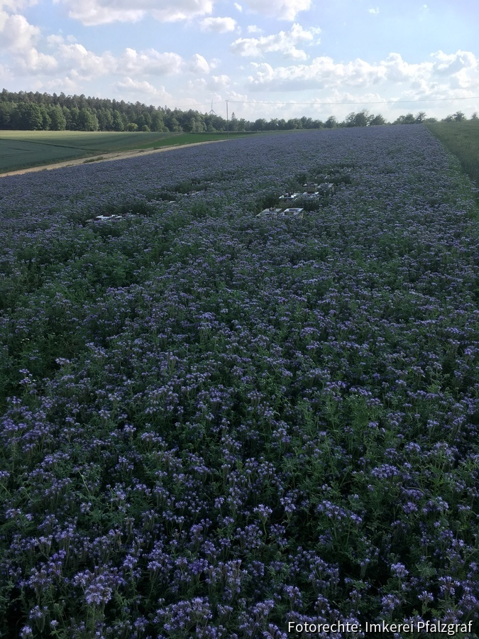 Ablegerstand in Phacelia - Update