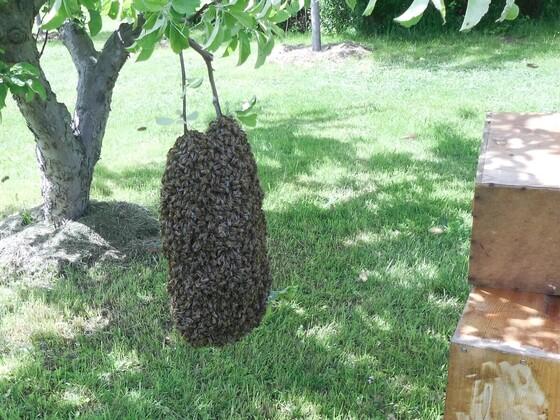 So hängen die Bienen im Schwarm wenn es Nachts um 0°C wird.