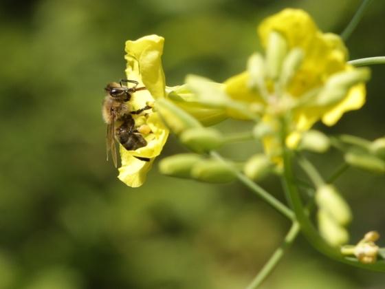 Honigbiene an Winterkohl 2