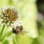 Biene an Weißklee