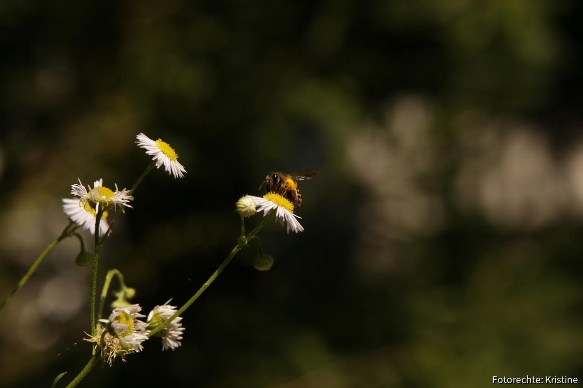 Wildbiene an Feinstrahl