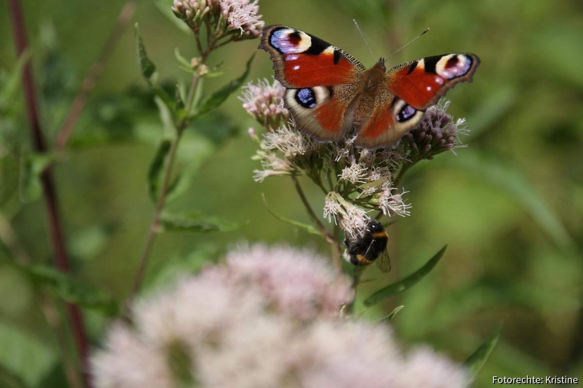 Schmetterling und Hummel an gewöhnlichen Dost