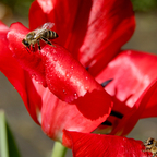 Bienen sammeln Wasser auf Tulpe