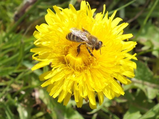 Biene auf Löwnzahn