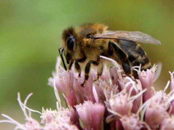 Biene an gewöhnlichen Dost