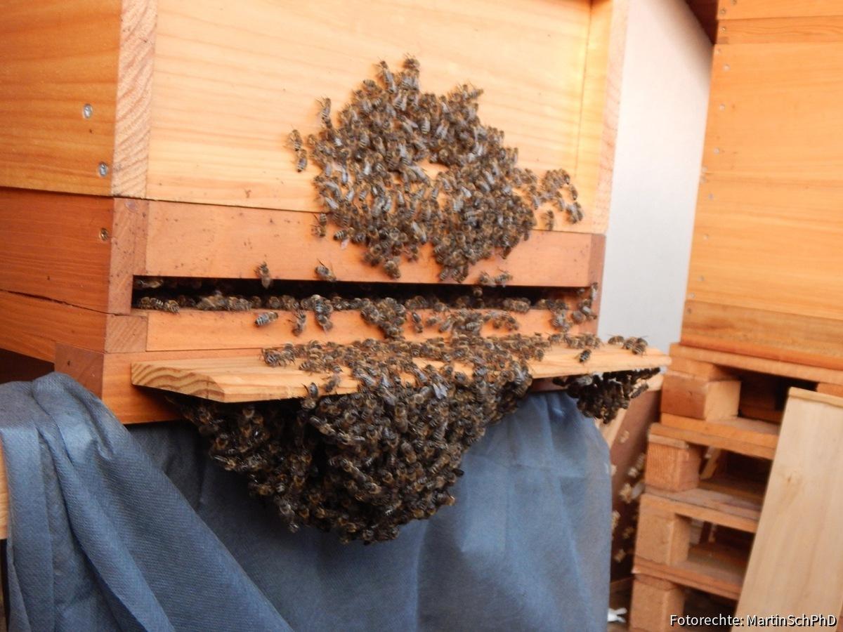 Bienenbart während Ameisensäurebehandlung