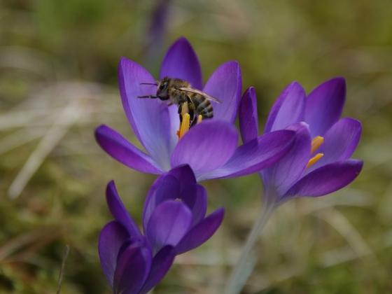 Biene an Krokus 2