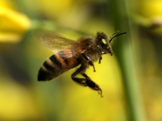 Fliegende Honigbiene
