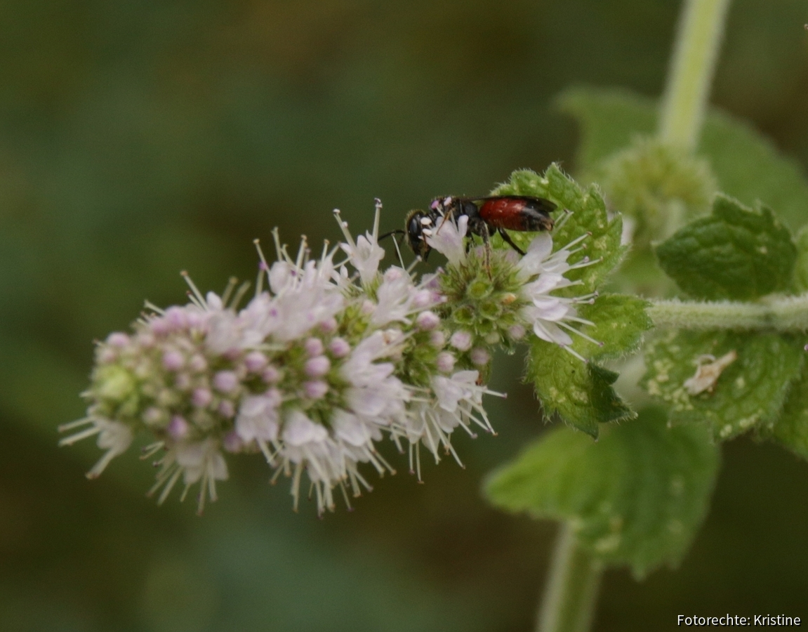 Wildbiene an Minze