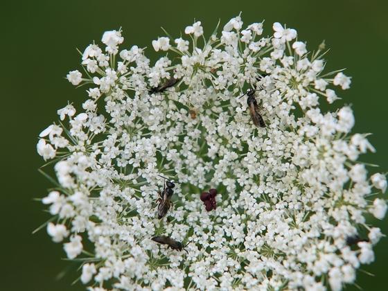Wildbienen an Wilde Möhre