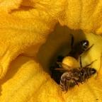 Bienen an Kürbis