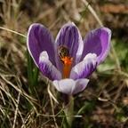 Biene an Krokus 1