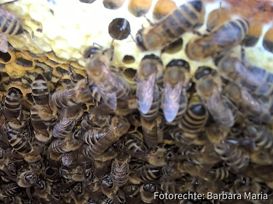 Bienen bei der Arbeit