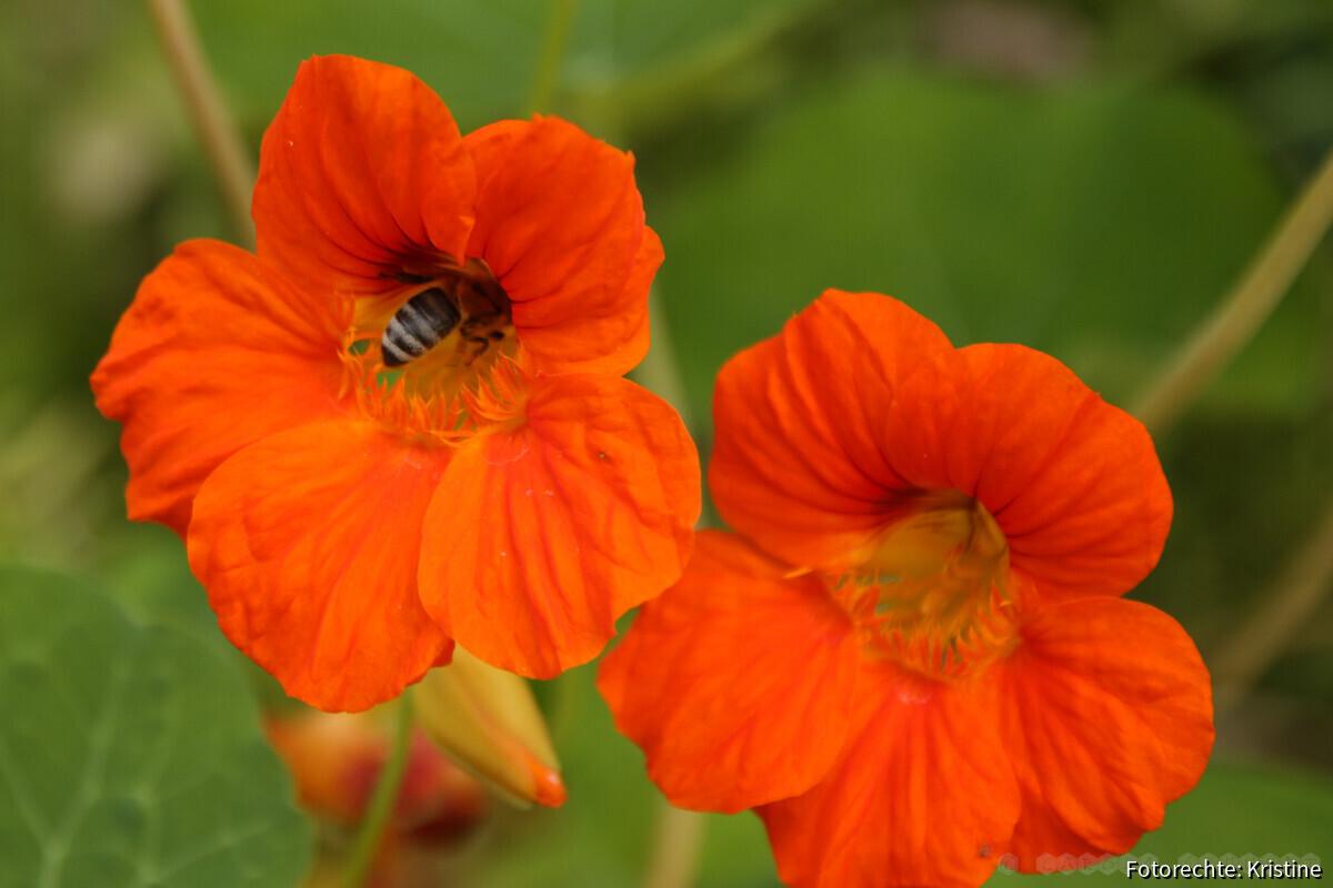 Biene an Kapuzinerkresse
