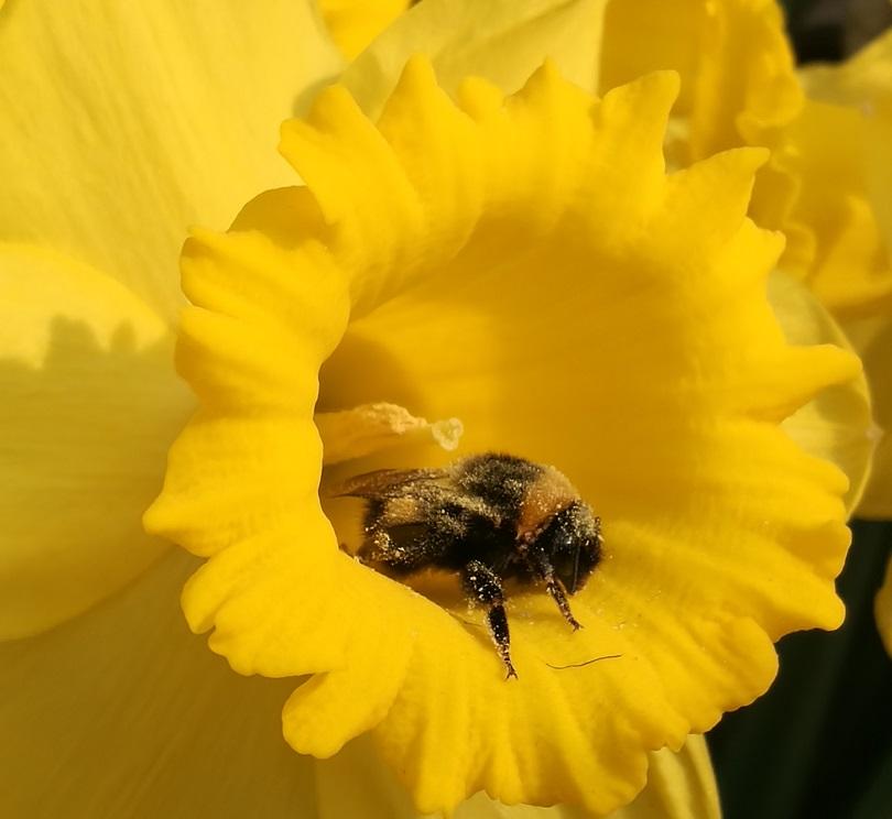 Hummel im Pollenrausch