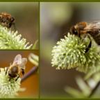 Erster Nektar im Garten - Eine kleine (weibliche) Salweide