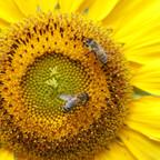Bienen an Sonnenblume